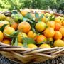 mandarina-clemenvilla600x600